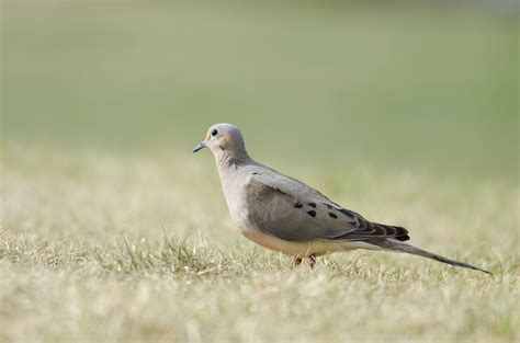 nesting habits of doves sciencing