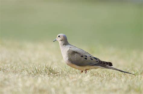nesting habits of doves sciencing