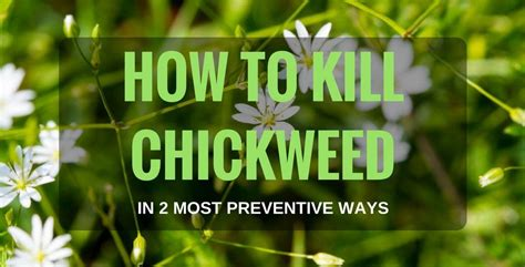how to a to kill how to kill chickweed in 2 most preventive ways
