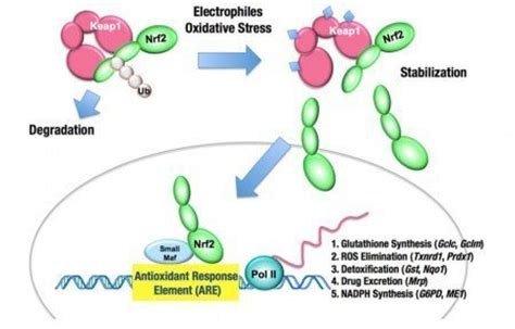 Cellar Antioxidant Defense And Detoxication System In The by Nrf2 The Detox Hub And Antioxidant Defense Selfhacked