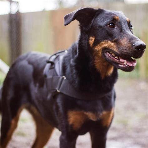St Delsia mūsų vienetiniai beveisliukai puslapis 8 šunys forumas