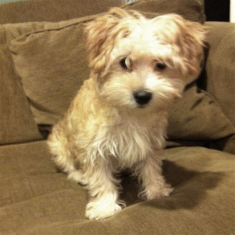 hairstyles for morkie morkie hair styles avast yahoo search results gibbs