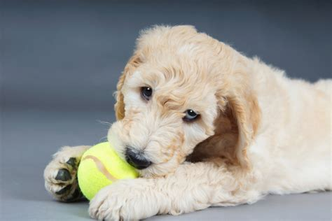 goldendoodle puppy care tips home goldendoodles 101