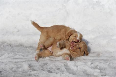 golden retriever breeders scotia breeders of golden retrievers in scotia dogs in our photo