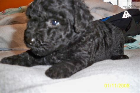 puli puppies for sale puli puppy for sale near saginaw midland baycity michigan 1d1d5106 7cc1