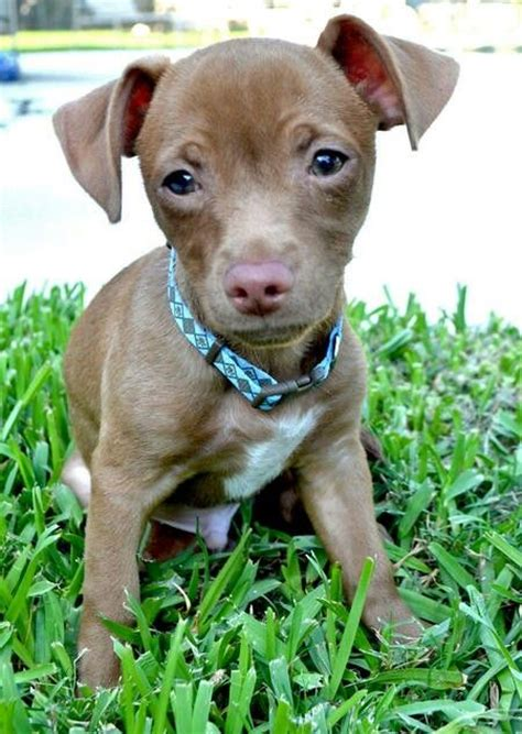pitbull mixed with chihuahua puppies 17 best images about dogs on chihuahuas pit bull terriers and american