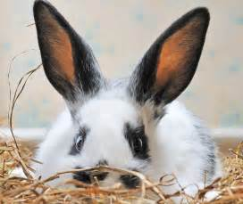 What Can You Use To Clean Out Your Ears by Help My Rabbit Is Sick And I Can T Reach My Vet Petfinder