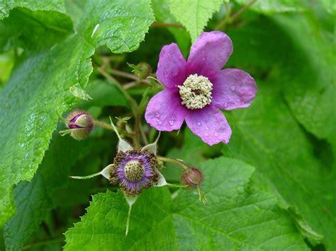 flowering raspberry shrub flowering raspberry meddic