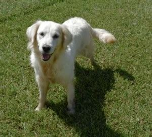 european golden retrievers for sale european white golden retrievers for sale southern charm goldens
