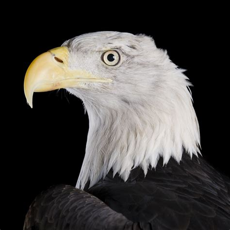 Humm3r Eagle Black With Real Pic bald eagle national geographic