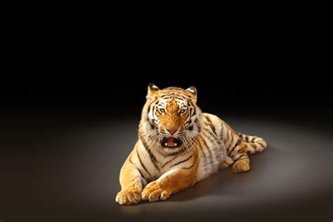 Imagenes Grandes Wallpaper | fondos de pantalla grandes felinos tigris animalia