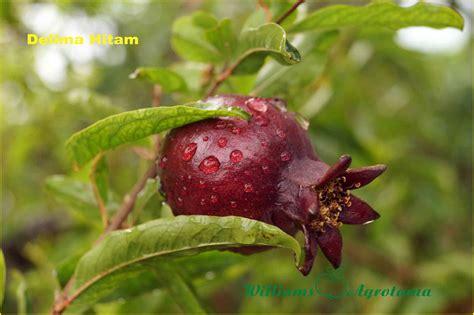Jual Bibit Buah Pekanbaru jual bibit tanaman buah delima 0878 55000 800 jual