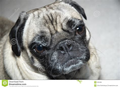 pug royalty pug royalty free stock photos image 335408