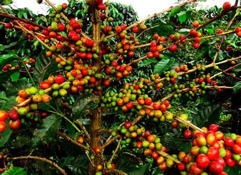 pohon kopi about us
