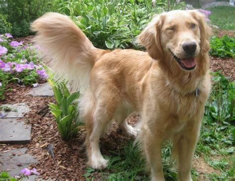 dumb golden retriever dumb owners something wagging this way comes