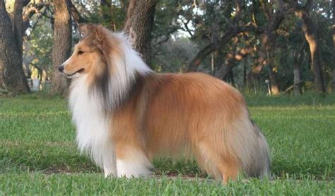 Do Sheltie Dogs Shed by Sheepdog Hair Loss The Best Hair Of 2017