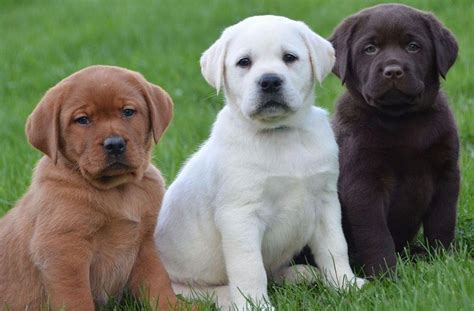 Labrador Price Range Where To Buy Labrador Retriever Puppies
