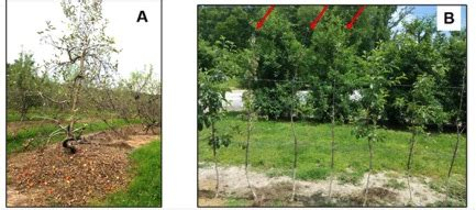 tree farms western nc the ambrosia beetle of western nc apple orchards nc state extension