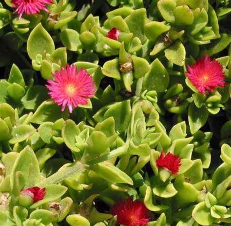 tanaman hias baby by lovelia tanaman baby sun jual tanaman hias