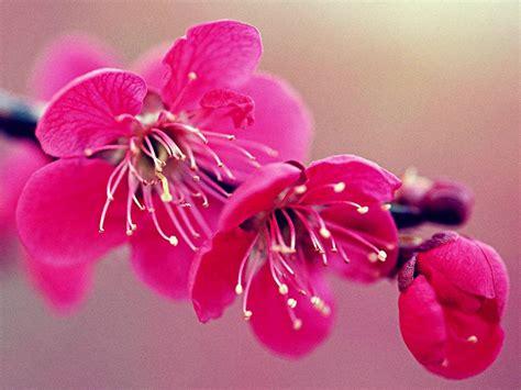 fiori di ciliegio significato fiore di ciliegio significato dei fiori