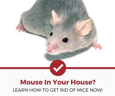 how to get rid of mice in your house how to get rid of mice natural non natural methods pest strategies