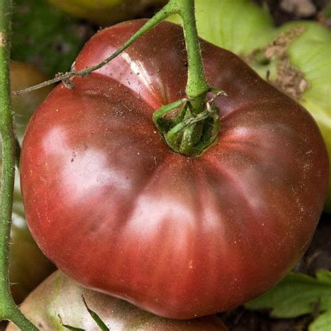 Tomato Purple Seeds tomato quot purple quot tomato seeds heirloom variety