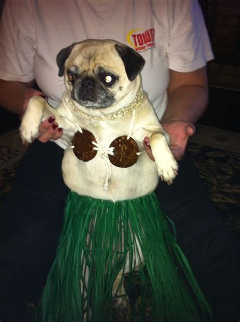 pug wearing pug costume 17 best ideas about pugs in costume on black pug pug puppies and pugs