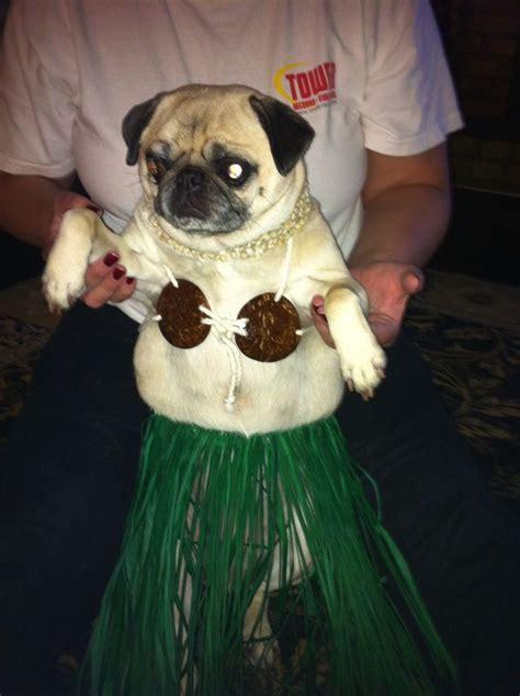 pug in seal costume идей на тему 171 pugs in costume в 187 17 лучших