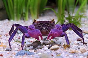 what color are crabs purple crab geosesarma dennerle