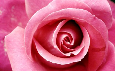 rose can pink rose 23397 1920x1200 px hdwallsource com