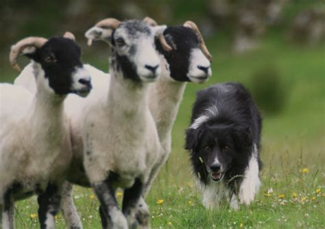 sheep puppies lake district sheepdog experience