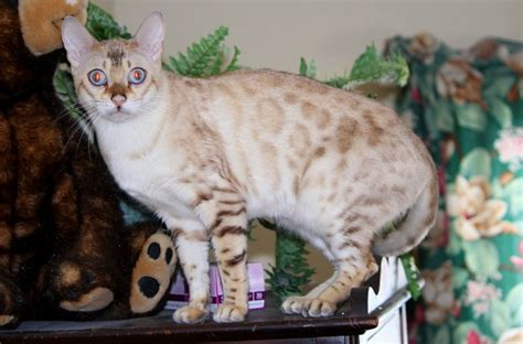 golden retriever vancouver wa bengal kittens vancouver wa about animals