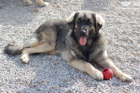 leonberger puppies for sale leonberger for sale for 700 near joplin missouri 027880f9 3091