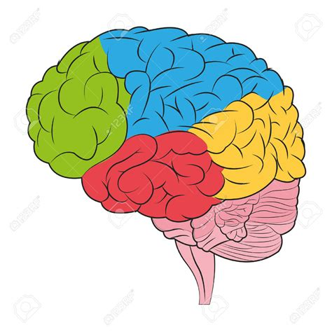 brain color colors clipart brain pencil and in color colors clipart