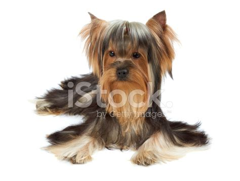 yorkies with bangs yorkie with bang of hair stock photos freeimages com