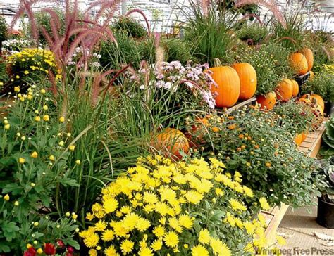 fall home design expo winnipeg fall for cabbages and chrysanthemums winnipeg free press