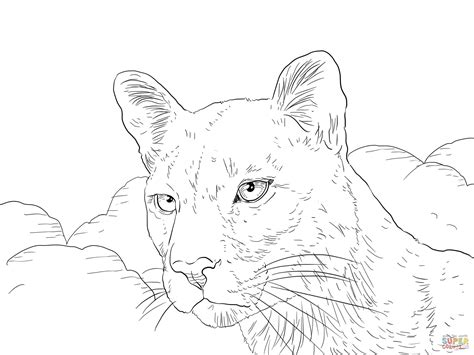 cougar coloring pages coloring pages