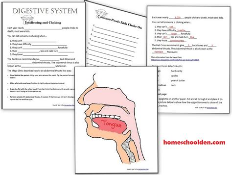 digestive system worksheet grade 4 human activities digestive system homeschool den