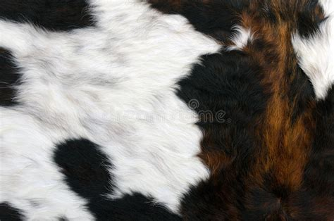 How To A Cowhide - cowhide royalty free stock image image 34846686