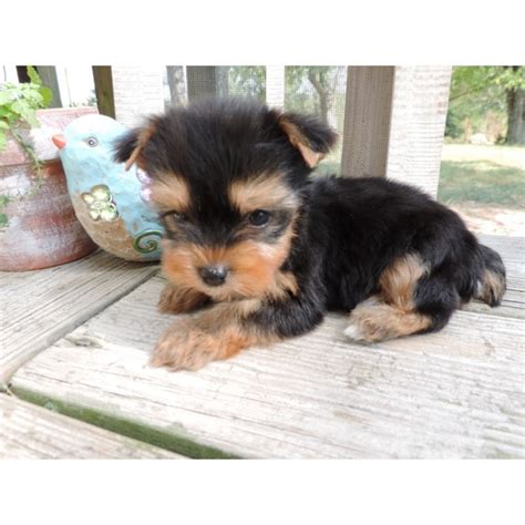 yorkie puppies for sale in charleston sc home raised yorkie puppies for rehoming for sale adoption from breeds picture