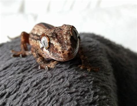 Westjet Pet Policy In Cabin by Westjet Finds Lost Gecko Owner Wants Airline To Change