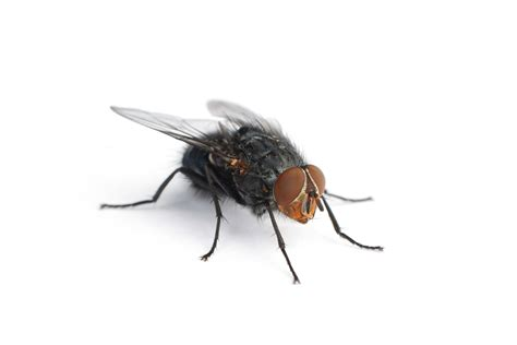 house fly infestation pest control for mosquitoes housefly wood borer bed bug bee hive centipede