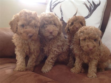 labradoodles puppies for sale hshire high class miniature labradoodles crewe cheshire