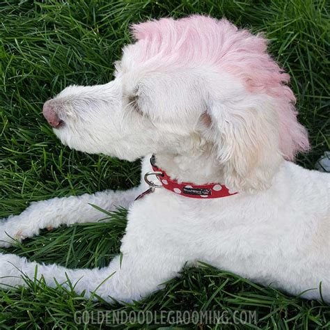 goldendoodle with a mohawk haircuts for goldendoodles haircuts models ideas