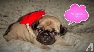Cute baby pugs for sale in chesaning michigan classified