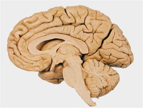 midsagittal section of the brain diagram alien explorations exles of midsagittal cutaway brains