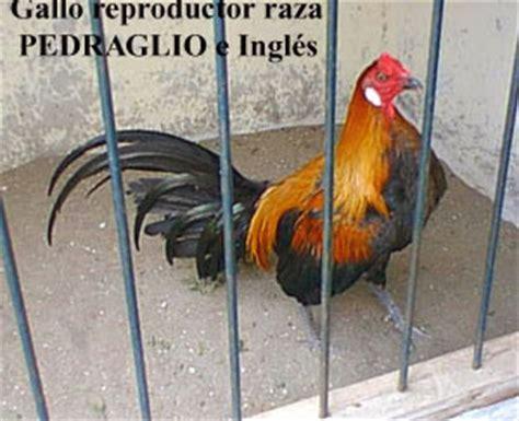 gallos navajeros peruanos de venta gallos de pelea primera exportaci 243 n de gallos navajeros