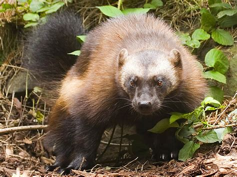 Wolverine Wallpapers   Animals Town