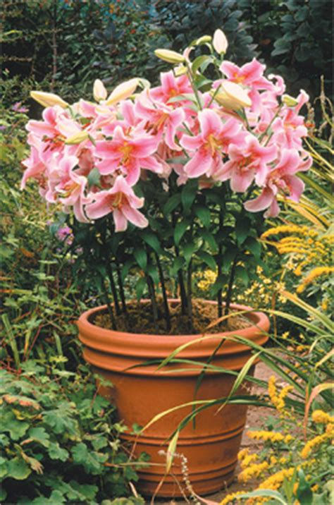 daffodils in pots learn how to garden