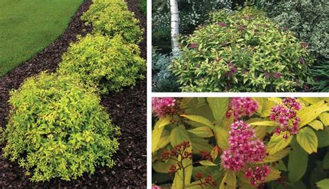 low growing flowering shrubs for sun flowering evergreen shrubs sun www pixshark